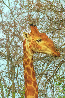 Photograph - Giraffe Portrait Eating by Benny Marty