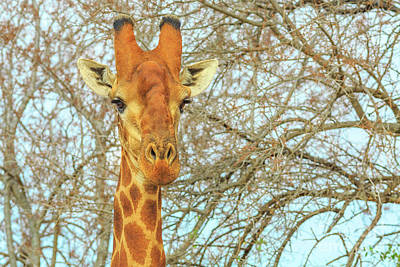 Photograph - Giraffe Portrait Front View by Benny Marty