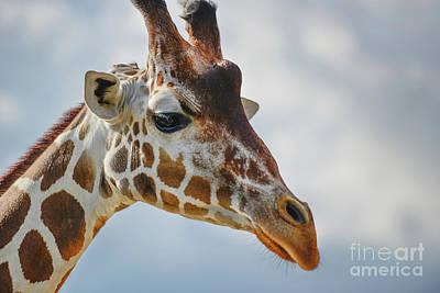 Photograph - Giraffe Portrait  by Olga Hamilton
