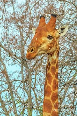 Photograph - Giraffe Portrait South Africa by Benny Marty