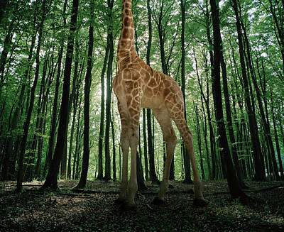 Photograph - Giraffe Stands In The Woods by Matthias Clamer