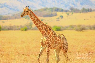 Photograph - Giraffe Walking In Savannah by Benny Marty