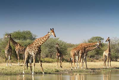 Animal Animal Photograph - Giraffes, Giraffa Camelopardalis by Hein Von Horsten