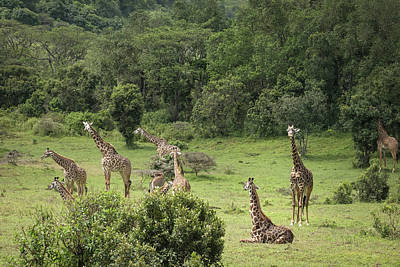 Photograph - Giraffes In A Jungle Meadow by Mary Lee Dereske
