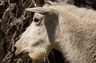 Photograph - Glacier Mountain Goat Close-up by Bruce Gourley