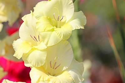 Vermeer Rights Managed Images - Gladiolus Royalty-Free Image by Nilu Mishra