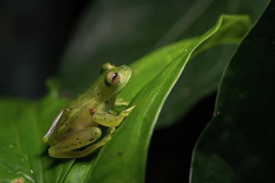 Photograph - Glass Frog In Costa Rica by Rodrigo Santamaria