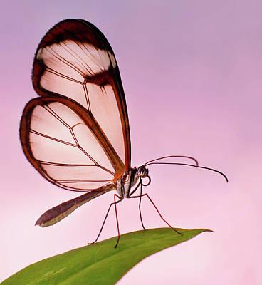 Photograph - Glasswing Butterfly by John Dickson