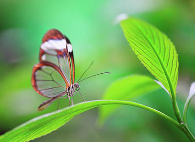 Photograph - Glasswing Butterfly On Green Leaf by Kathy Collins