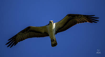 Photograph - Glide Of The Osprey by Kevin Banker