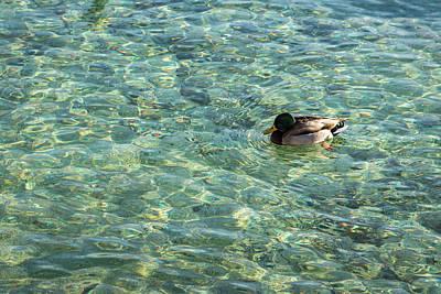 Photograph - Gliding On Rainbows - Mallard Duck On Sunshiny Lake by Georgia Mizuleva