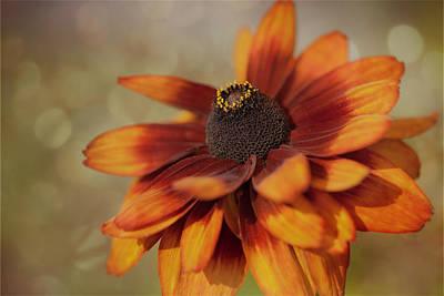 Photograph - Gloriosa Daisy by Jacqui Boonstra