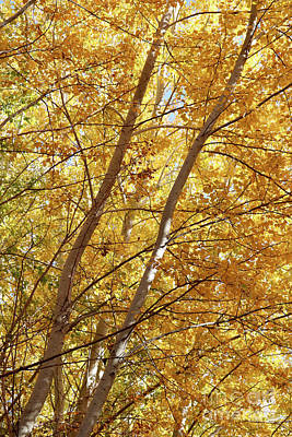 Photograph - Glorious Yellow Autumn Trees by Carol Groenen
