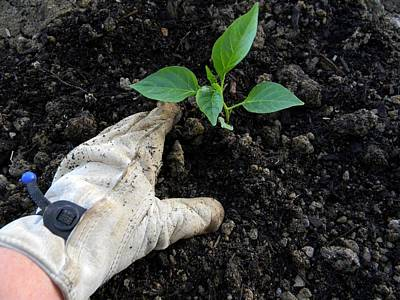 Wall Art - Photograph - Gloved Hand Planting Pepper by Dene Brock