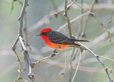 Photograph - Glow Of The Vermilion Flycatcher by Loree Johnson