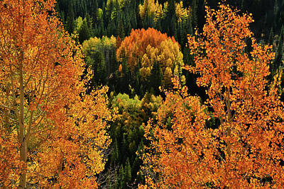 Photograph - Glowing Aspens On Million Dollar Highway by Ray Mathis