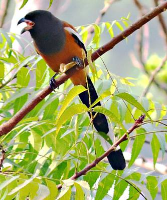 Giuseppe Cristiano Royalty Free Images - Rufous treepie Royalty-Free Image by Nilu Mishra