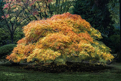 Bath Time Rights Managed Images - Glowing Japanese Maple  2472 Royalty-Free Image by Karen Celella