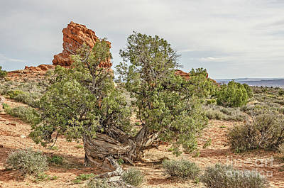 Photograph - Gnarled Juniper Trees Against Red Sandstone by Sue Smith