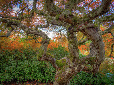 Photograph - Gnarly Maple by Jean Noren