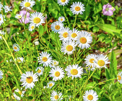 Royalty-Free and Rights-Managed Images - Goat Island Wild Daisies Maine by Betsy Knapp