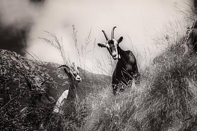Photograph - Goats by Roberto Pagani