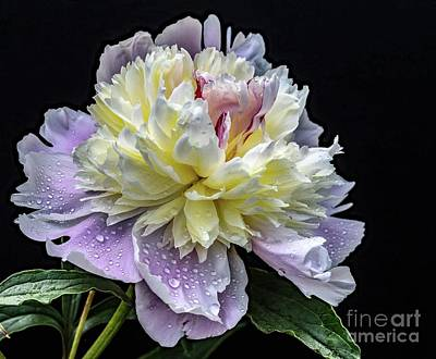 Marvelous Marble - Gods Perfection In A Festiva Maxima Peony by Cindy Treger
