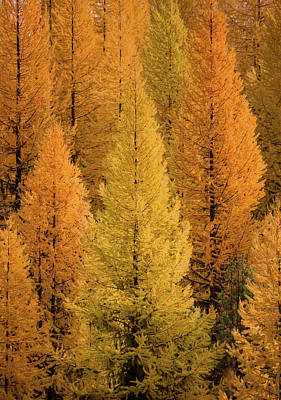 Photograph - Gold Tamaracks / Seeley Lake, Montana  by Nicholas Parker