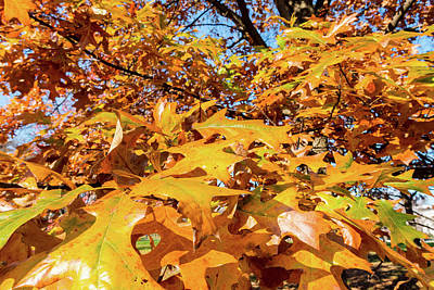 Photograph - Golden Autumn Leaves by SR Green