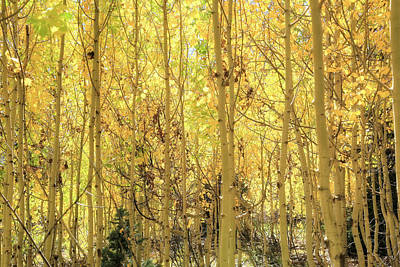 Photograph - Golden Backlit Aspens by Donna Kennedy