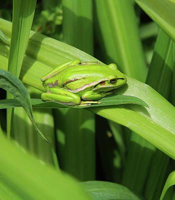 Photograph - Golden Bell Frog by Nareeta Martin