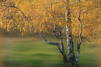 Photograph - Golden Birch Forest Dreamscape by Debra and Dave Vanderlaan