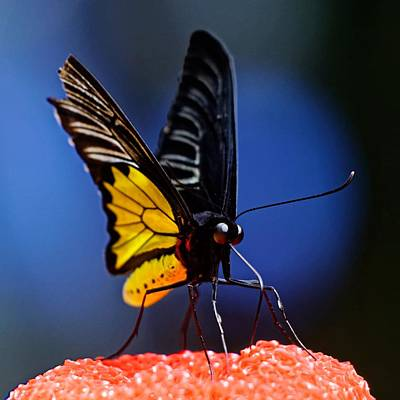 Photograph - Golden Birdwing by KJ Swan
