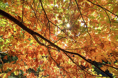 Photograph - Golden Canopy. by Sean Davey