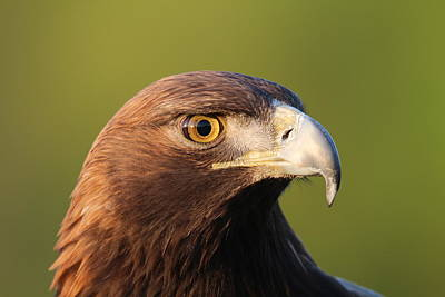 Photograph - Golden Eagle 5151801 by Rick Veldman
