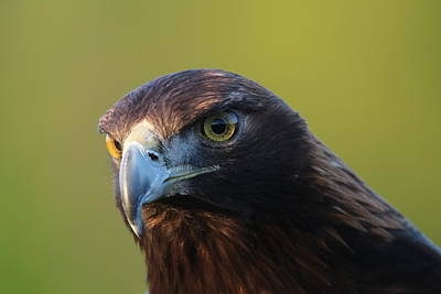 Photograph - Golden Eagle 5151802 by Rick Veldman