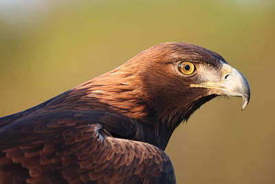 Photograph - Golden Eagle 5151806 by Rick Veldman