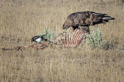 Photograph - Golden Eagle And Magpie Picking Bones, No. 1 by Belinda Greb