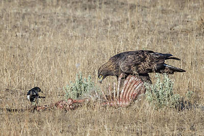 Photograph - Golden Eagle And Magpie Picking Bones, No. 2 by Belinda Greb