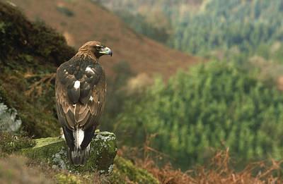 Eagle Photograph - Golden Eagle Aquila Chrysaetos by Mark Hamblin