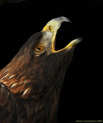 Eagle Photograph - Golden Eagle Cry by Image By David G Hemmings
