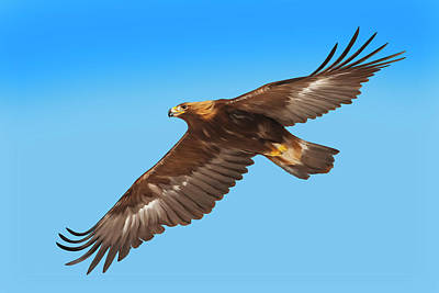 Digital Art - Golden Eagle Flying In Blue Sky by Mark Miller