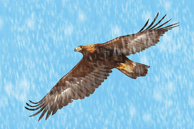 Photograph - Golden Eagle Flying In Snow by Mark Miller
