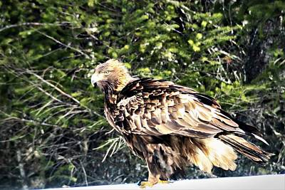 Caravaggio - Golden Eagle by Than Widner Photography