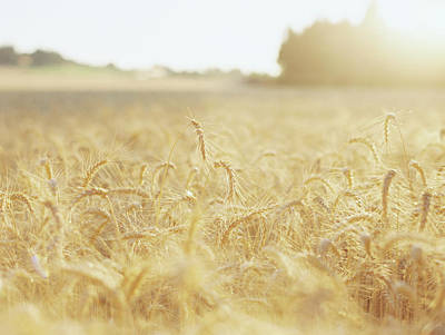 Photograph - Golden Fields by Kirstie Marie Jones