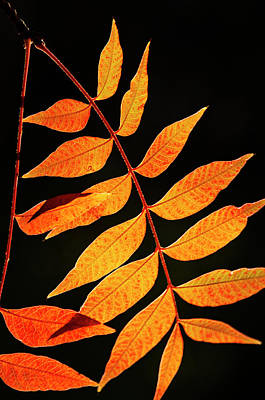 Photograph - Golden Leaves II  by Saija Lehtonen