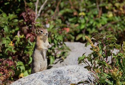 Photograph - Golden Mantled Ground Squirrel by Michael Chatt
