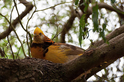 Photograph - Golden Pheasant 001 by Chris Flees