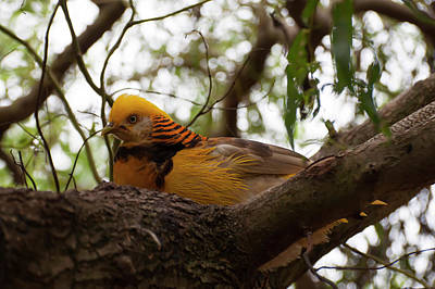 Photograph - Golden Pheasant 002 by Chris Flees