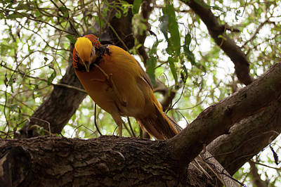 Photograph - Golden Pheasant 004 by Chris Flees